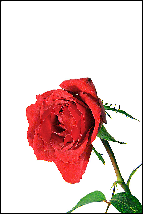 Simple Red Rose