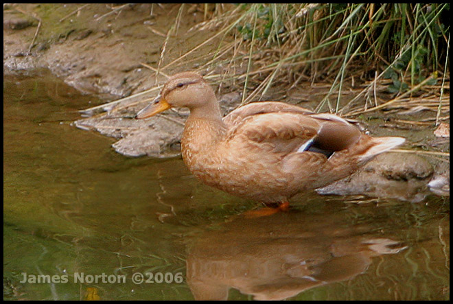 Duck found at a local stream...