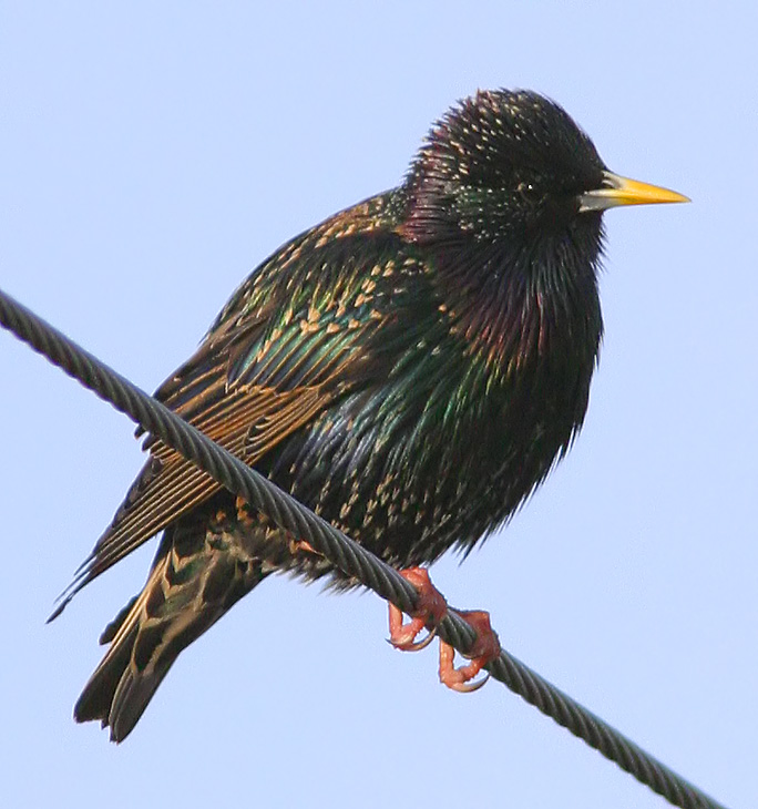 Starling on a Wire!