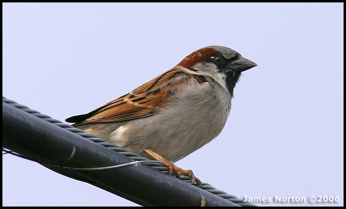 Male House Sparrow in Breeding Colors