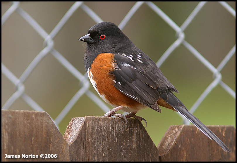 Spotted Towhee!
